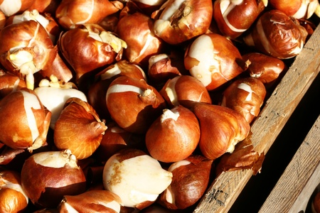 bulb tulip: Tulip bulbs in a wooden box.  They are ready to be planted.