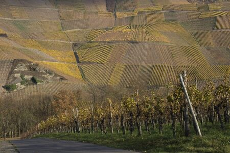 Vineyard landscape in the Mosel Valley, Germany photo