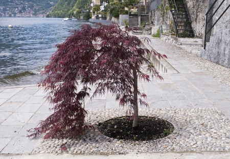 acer: Small acer tree on the lakeside, Lake Como, Italy