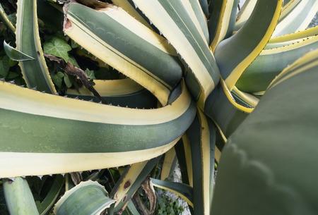 century plant: Agave americana plant
