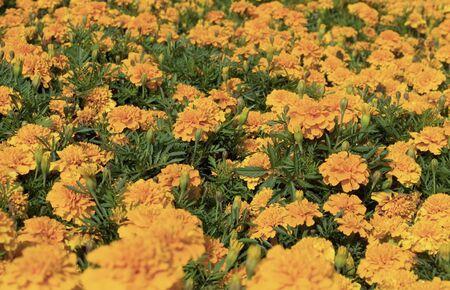flowered: flowered bed of orange Marigold flowers