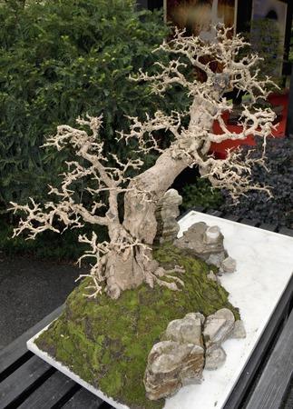 bonsai tree: a bare branches bonsai tree