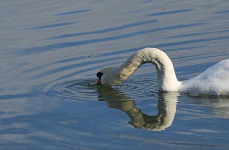 mute swan feeding in water