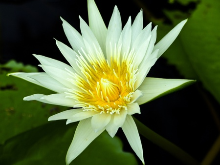 white Lotus  Stock Photo - 8958711