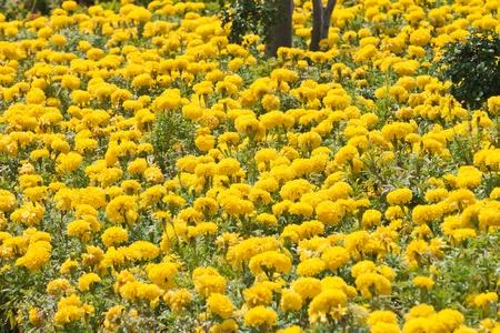 Marigold Yellow Flower  photo
