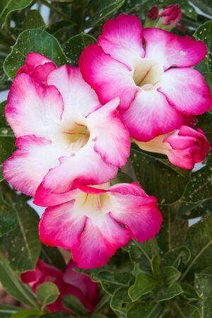 Desert Rose Flowers Stock Photo - 13749149