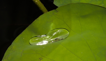 Green Lotus leaf with water drop  photo