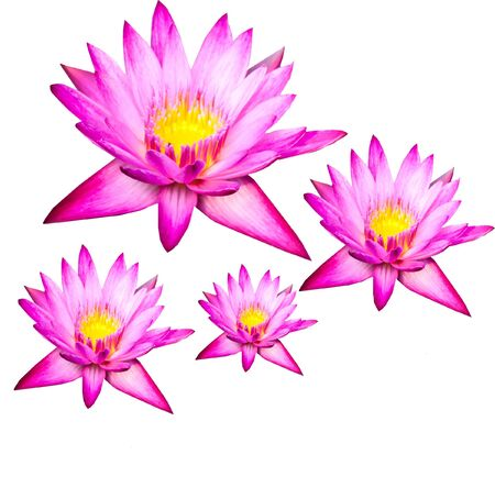 Lotus flowers  Stock Photo - 15235076