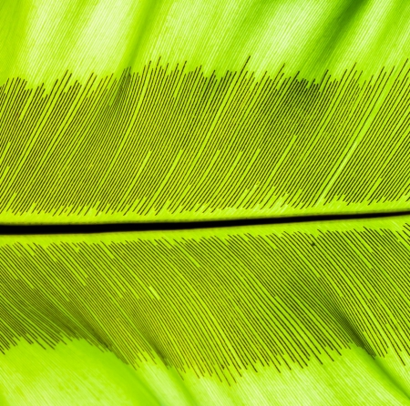 Bird s nest fern leaf texture photo