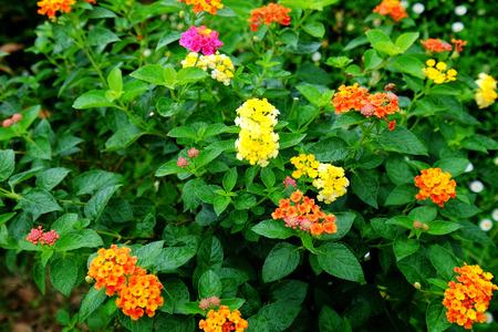 lantana: Lantana flower, Lantana camara in Thailand and nature background.