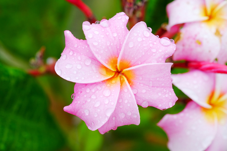 Close up of Pink plumeria flower with water drop and nature background.