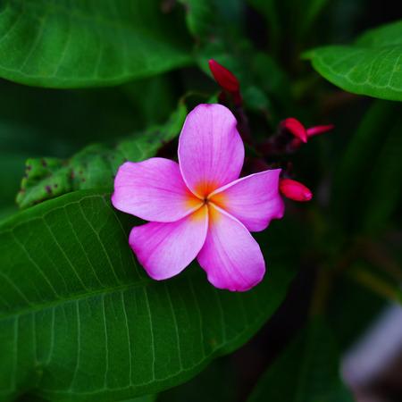 Close up of Plumeria fower (Frangipani) or Leelawadee flower Thailand is name, beautiful background.