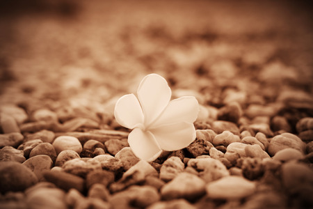 Close up of Plumeria flower (Frangipani) or Leelawadee flower on rock background, sepia tone and vignette effect style.