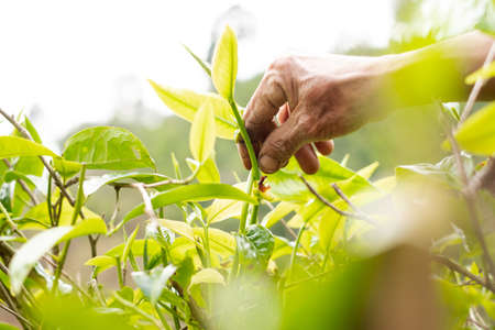 Top tea leaves, natural products, are ingredients in making beverages. Selected fresh tea leaves in tea plantations.