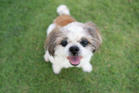 Happy Shih tzu dog sitting on green grass and looking at the camera.