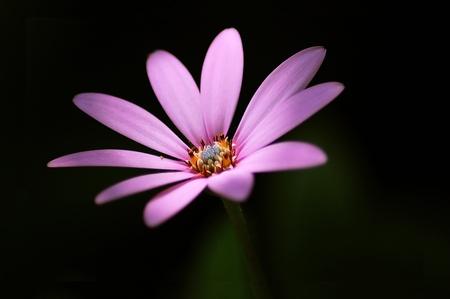pluvialis: Dimorphotheca pluvialis - Daisy Stock Photo