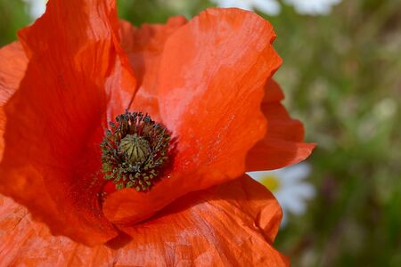 opium poppy: Closeup of a poppy