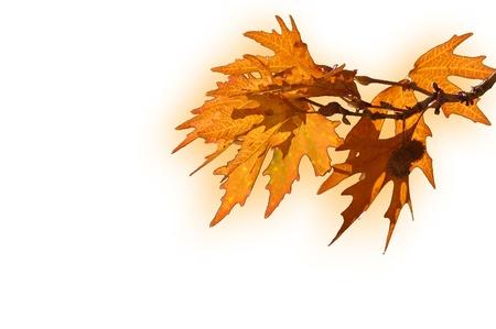 foglie: Foglie d acero su fondo bianco