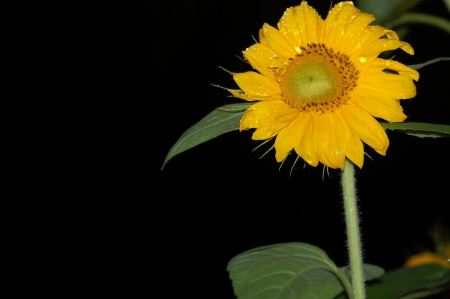 Girasole con gocce d acqua su fondo nero Stock Photo