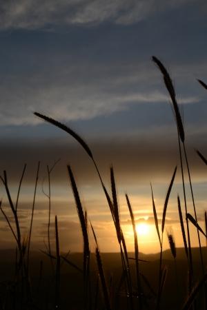 Fili di erba al tramonto - 1 Stock Photo