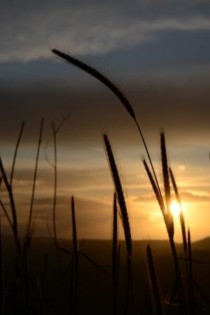 Fili di erba al tramonto - 2