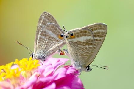 foglia: Farfalle Cassius Blue  che si accoppiano