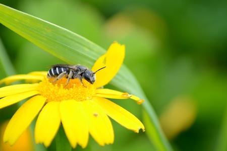Bee on daisy flower Stock Photo