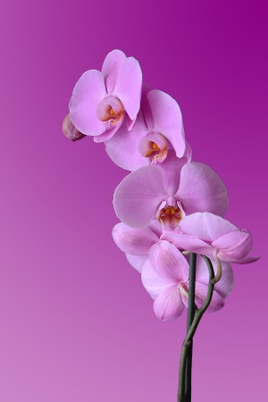 Orchidea viola su fondo fucsia Stock Photo