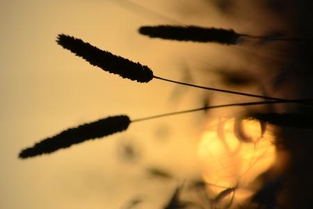 rurale: Spighe al tramonto