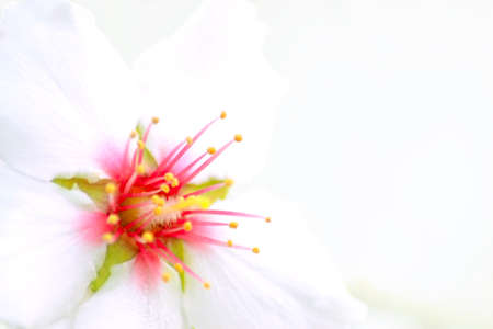 Closeup of an almond blossom photo