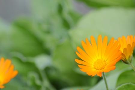 Marigold flower wild