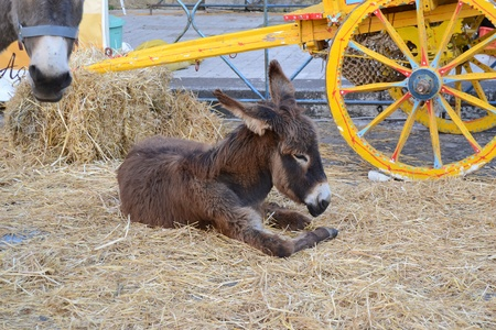 Young donkey lying in the straw and Sicilian cart in the background