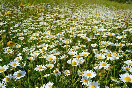 Grass with white daisies - 1 Stock Photo