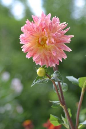 Dalia pink and yellow