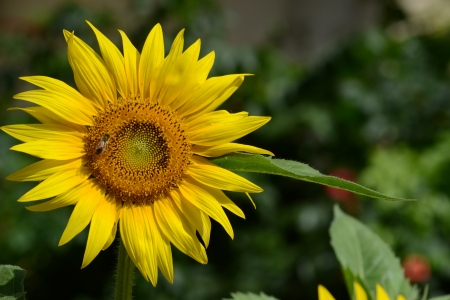 Close-up of a sunflower in the garden with bee
