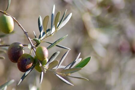 Olive branch with green and black olives photo