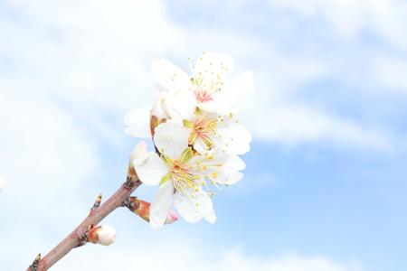 almond bud: Almond blossoms Stock Photo