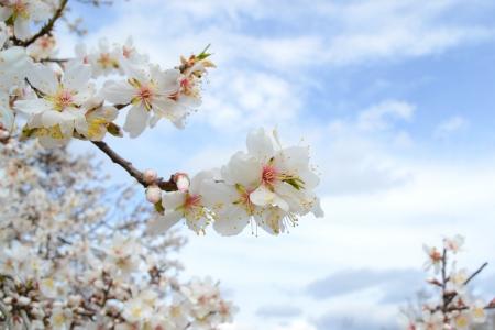 almond bud: Almond Blossom
