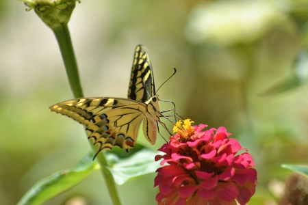 Papilio Machaon butterfly on a flower of zinnia