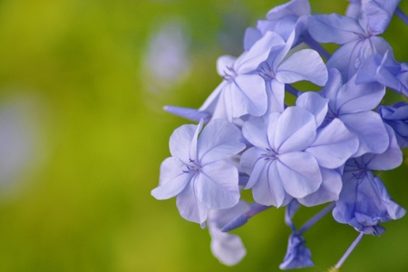 Jasmine blue plumbago or