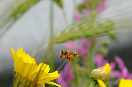 bee in flight with propolis attached to the legs that are going to be laid on a yellow flower photo