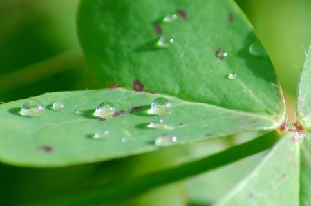Dew drops on a leaf of clover photo