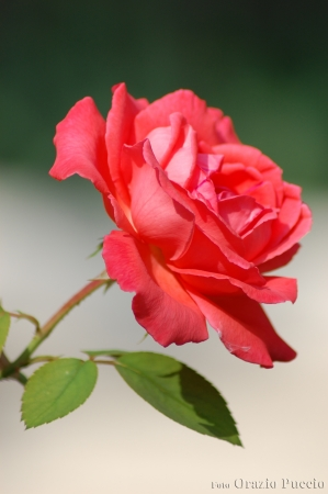 Pink rose with two leaves photo