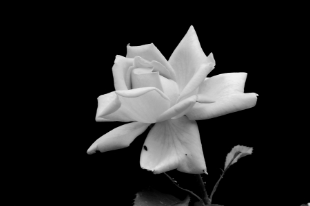 b w: Rose flower b   w