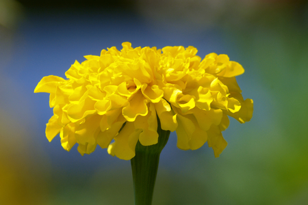 yellow marigold, Tagete giallo, photo