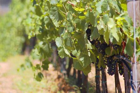 uva: vineyard Stock Photo
