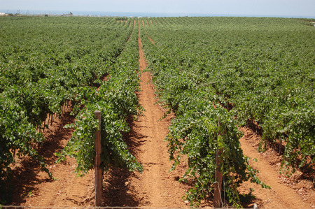 foglia: vineyard Stock Photo
