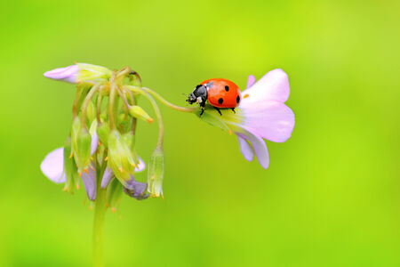 Ladybug on a small clover flower photo