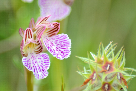 anthesis: Anacamptis papilionacea grandiflora