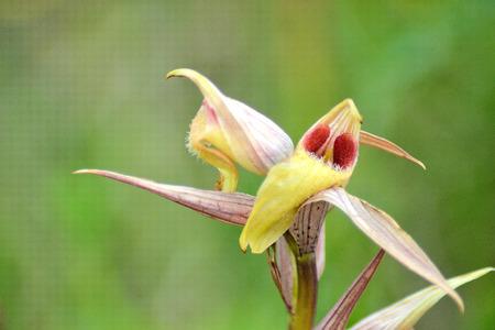 anthesis: Serapias vomeracea Stock Photo